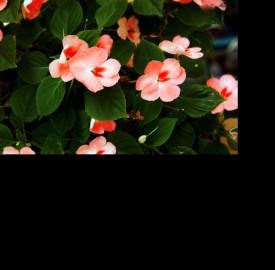 Photogallery il significato e la simbologia dei fiori for I fiori della balsamina