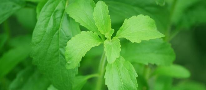 photogallery neuer zuckerersartz stevia das kann die planze aus s damerika. Black Bedroom Furniture Sets. Home Design Ideas