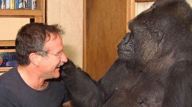Koko, el gorila más famoso de Estados Unidos
