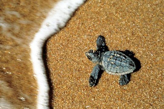 Sardegna tartaruga marina sceglie come nido la spiaggia for Deposizione uova tartarughe terrestri