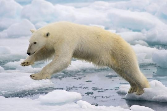 Polar bear jumping over ice floes. Wikimedia - Arturo de Frias Marques