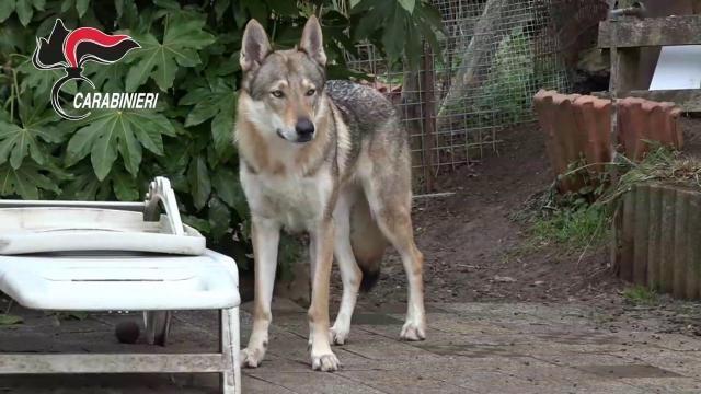 39 ave lupo 39 sequestrati 229 cani ibridi dal comando for I cani youtube
