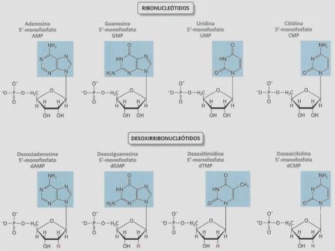 Nucleósidos, nucleótidos y ácidos nucleicos | Apuntes de Biología ... - blogspot.com