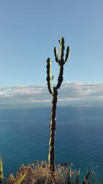 Kaktus am Hang beim Capo Vaticano