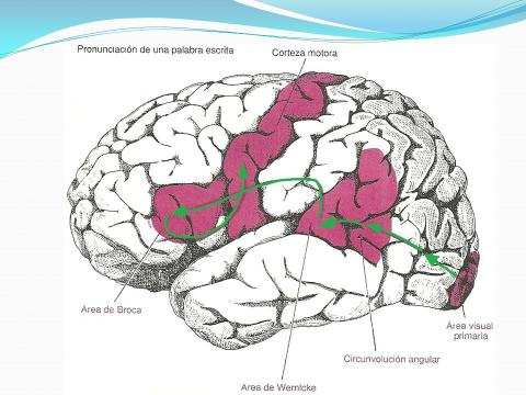 Organización de las áreas de asociación somática, auditiva