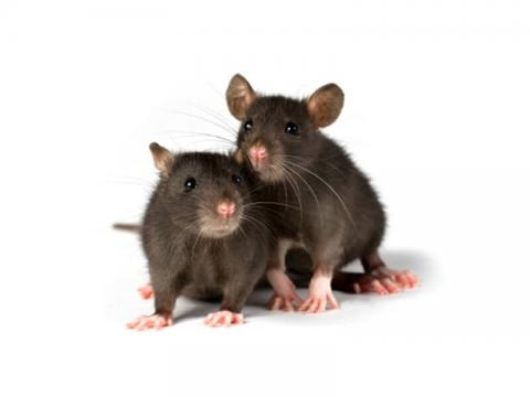 Mice and Rats in Laboratories | PETA - peta.org