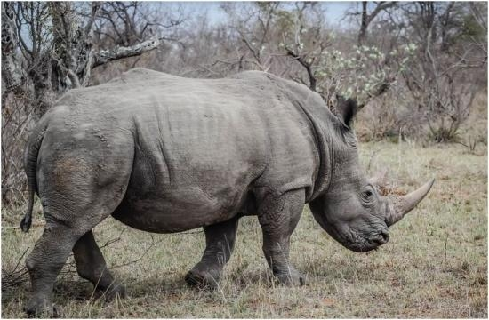 horn trade legalization Rhino horn could be cut from live animals and sold legally to stop poaching, the bbc presenter and scientist adam hart has suggested.