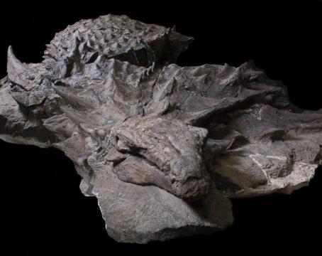 Das Fossil ist 1,1 Tonnen schwer und 5,4 Meter lang. Bild: Robert Clark