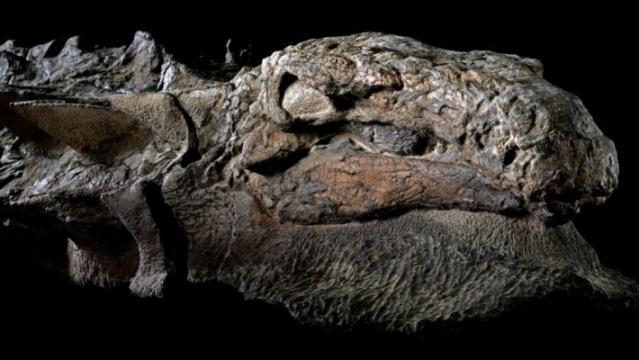 Der Kopf des 112 Millionen Jahre alten Nodosaurus. Bild: Robert Clark