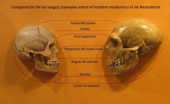 Según las últimas investigaciones, la forma del cráneo del Homo Sapiens, tiene características de domesticación.