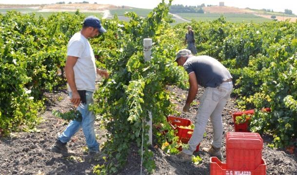 Vendemmia 2017 nell'Azienda Agricola G.Milazzo di Campobello di Licata, in Sicilia, provincia Agrigento