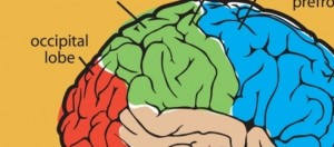 le parti del cervello umano