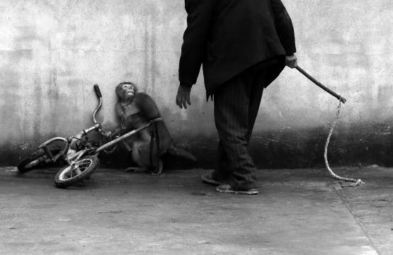 Natureza: Macaco é treinado para um circo