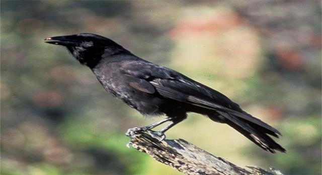 Cuervo hawaiano es originario de la Isla de Hawai