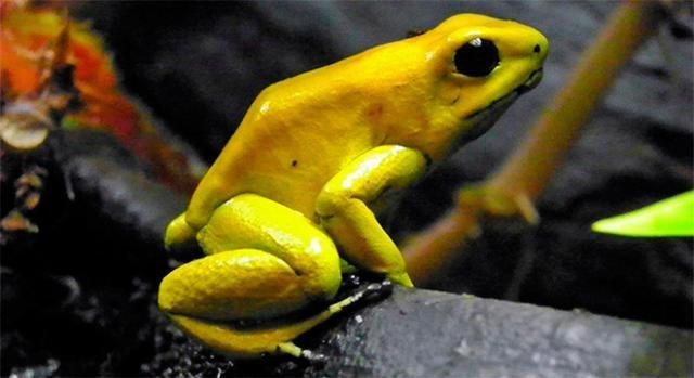 Rana dorada venenosa vive en Colombia y Panamá