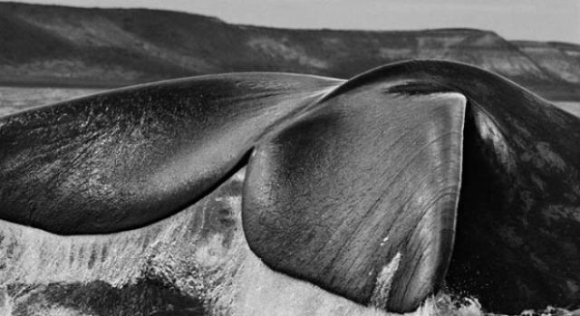 Baleia-franca-austral. Península Valdés, Argentina