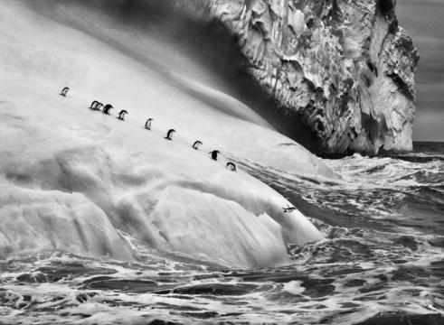 Pinguins a saltar dum iceberg no sul do planeta