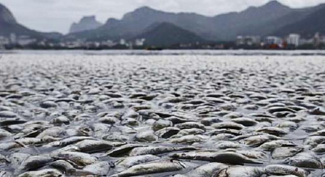 Já foi retirada quase uma tonelada de peixes.