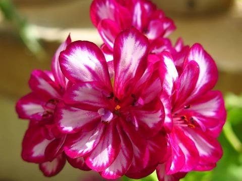 Festa da Primavera, as plantas em flor.