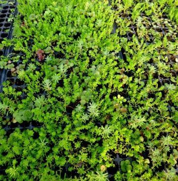 Sedum: la vegetación ideal para un techo verde