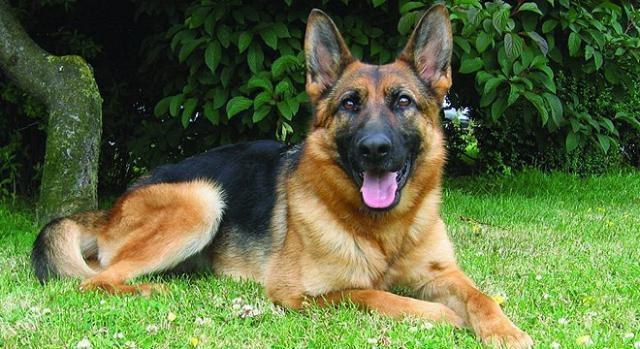 Cães de guarda estão entre os preferidos