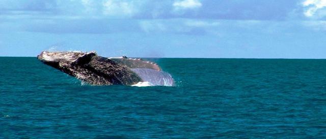 Baleias visitam Abrolhos no verão