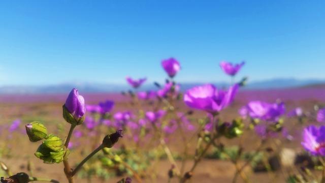 Atacama turns into pink fields after rain.