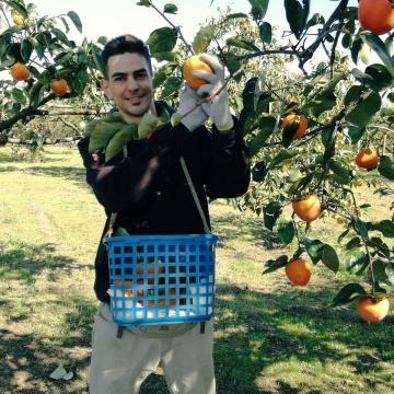 Plantación de persimmones en prefectura de Yamanashi, Japón.
