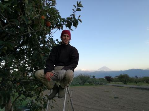 Recogiendo persimmons, detrás mío el Monte Fuji.