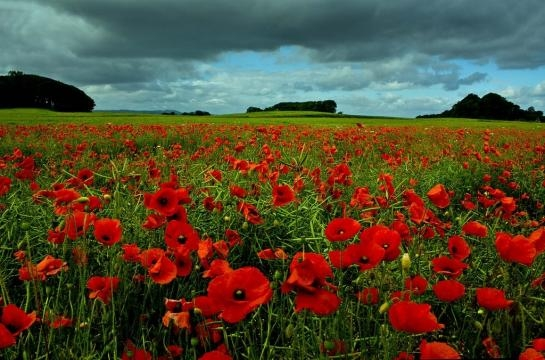 A field of poppy's grows naturally