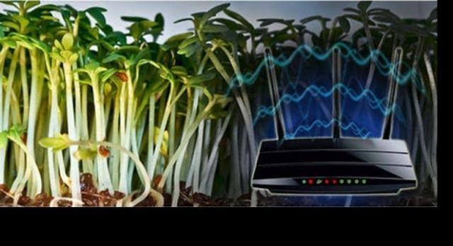 Imagens de plantas que morrendo devido ao sinal do WiFi.