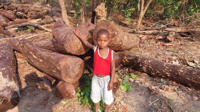 Mukula logs awaiting transport in the DRC