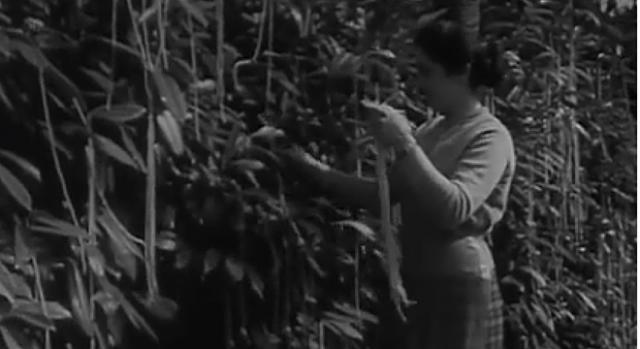 BBC Spaghetti Harvest Hoax 1957