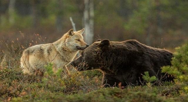 Il lupo e l'orso tornano sulle montagne.