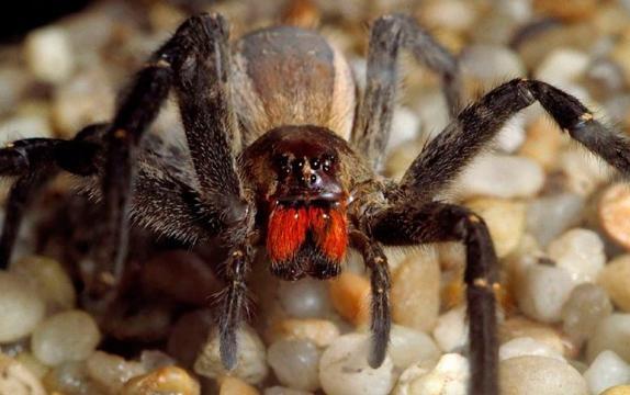 Araña Errante Brasileña :: Imágenes y fotos - animalesextremos.com