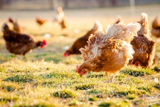 Pasture-raised eggs come from chickens that are allowed to roam freely. / Photo via Denisa Caldova, Konnect Agency. Used with permission.