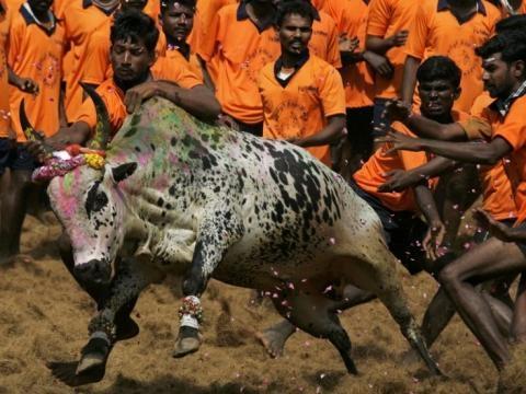 Jallikattu, with the bull in action hindustantimes...-hindustantimes.com.