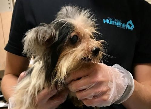 A dog gets cleaned up after being rescued, along with 122 other dogs, from San Diego-area hoarders. -- San Diego Humane Society