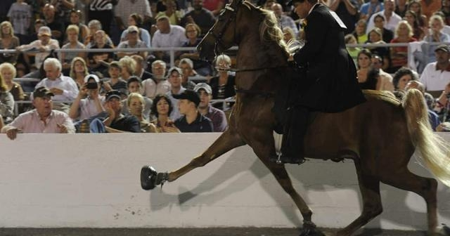2 bills aim to rein in Tennessee walking horse abuse - usatoday.com