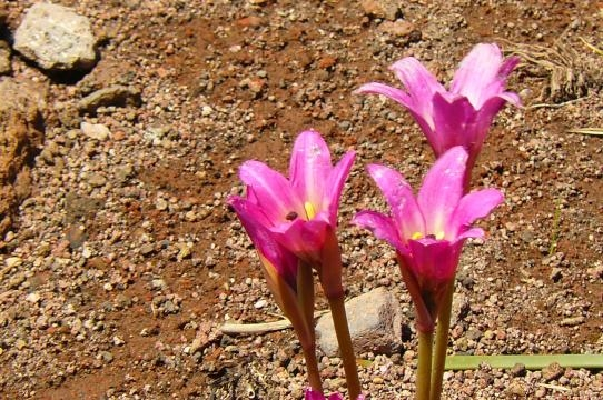 La Flor de Copahue es única y propia del lugar. Crece en torno a las elevaciones y planicies próximas al volcán