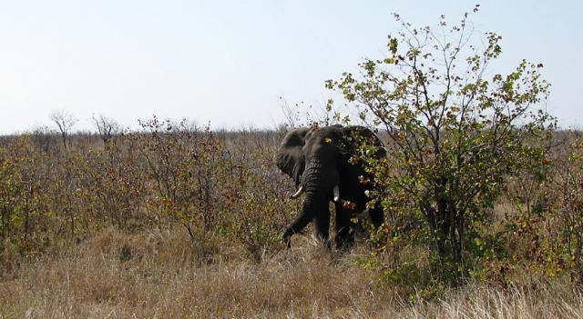 Kruger National Park elephant - Image - J. Flowers (Own work)