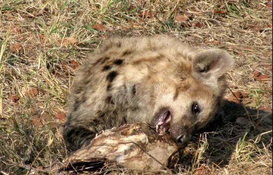 Kruger National Park Hyena on roadsie - Image - J. Flowers (Own work)