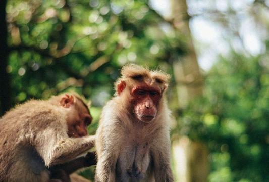 The Rhesus Macaque (Image credit – Ajmalmubaraq – Wikimedia Commons)