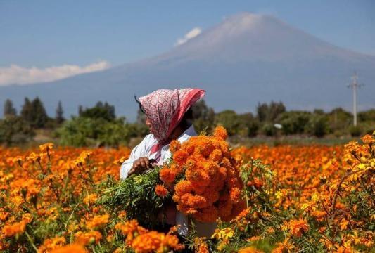 Cempasúchil, maravillosa y hermosa flor