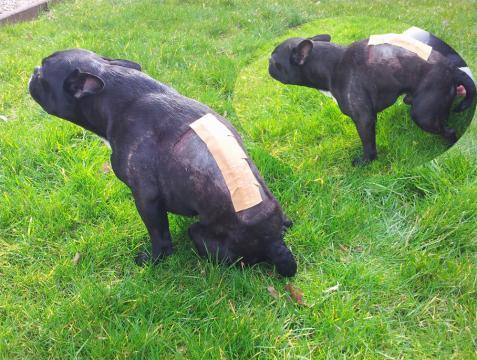 Französische Bulldogge Bandscheibenvorfall Dackellähmung ... - madox-der-frenchie.de