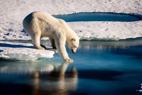Polar bear in the Arctic (Image credit - Mario Hoppmann, Wikimedia Commons)