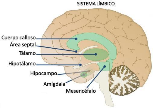 Imagen del limbico | Aula de Coherencia