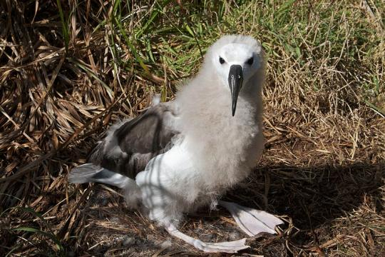 Juvenile yellow-nosed albatross. [Image credit – Brian Gratwicke, Wikimedia Commons]