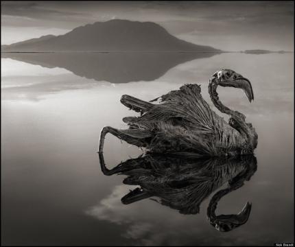 Flamingo petrificado no lago Natron