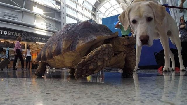 Pets on planes: Are passengers lying to get animals on flights ... - today.com